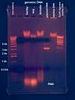 Agarose Gel Loading Dye, (6X), Alkaline